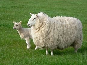 sheep 1with kid